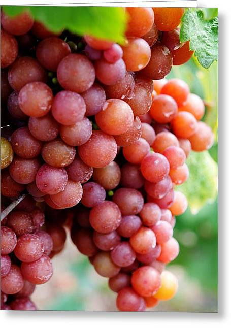 Grape Vineyard Greeting Cards - Red Grapes Greeting Card by Sabine Edrissi