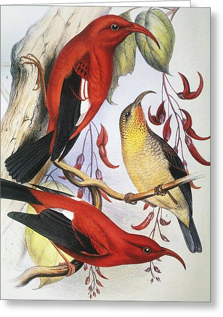 1893 Greeting Cards - Red Hawaiian Honeycreeper Greeting Card by Hawaiian Legacy Archive - Printscapes