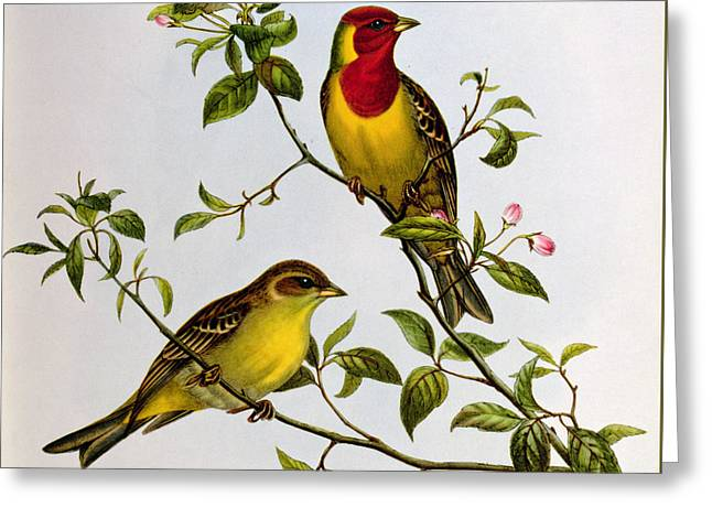 Red Headed Bunting Greeting Card by John Gould