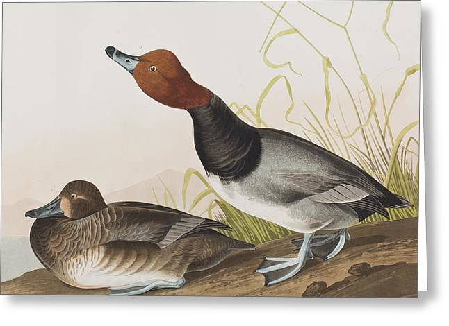 Red Drawings Greeting Cards - Red-headed Duck Greeting Card by John James Audubon