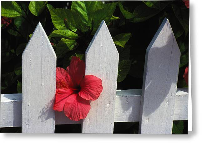 White Pickett Fences Greeting Cards - Red Hibiscus and White Fence Greeting Card by Carl Purcell
