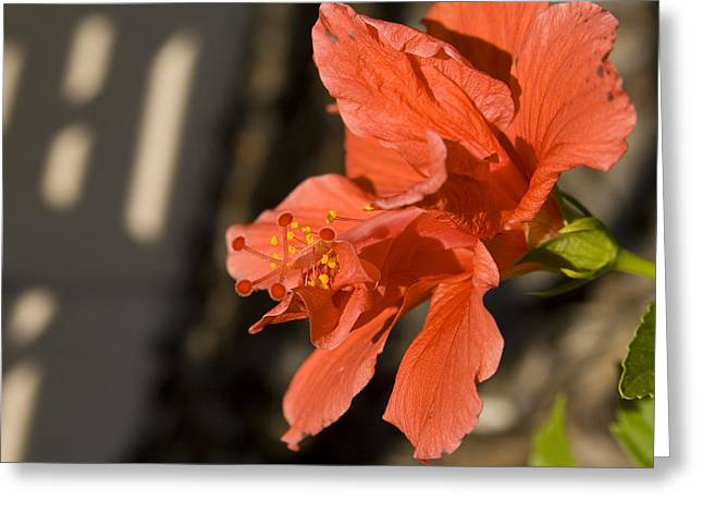 Pestal Greeting Cards - Red Hibiscus Greeting Card by Carl Purcell