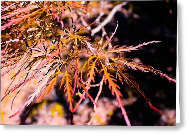 Botanical Greeting Cards - Red Japanese Maple Leaves Greeting Card by Colleen Kammerer