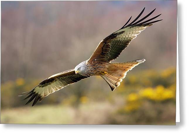 Kites Greeting Cards - Red Kite flying over meadow Greeting Card by Grant Glendinning
