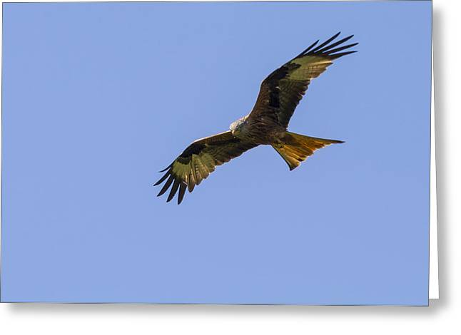 Kite Greeting Cards - Red Kite   Milvus milvus Greeting Card by Chris Smith