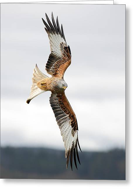 Raptor In Flight Greeting Cards - Red Kite soaring - portrait Greeting Card by Grant Glendinning