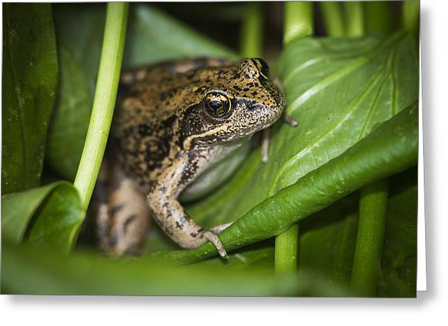 Wapato Photographs Greeting Cards - Red-legged Frog  on Plant Greeting Card by Robert Potts