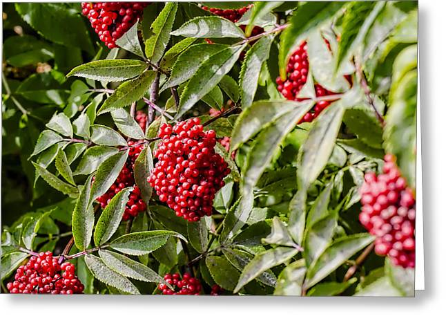 Berry Greeting Cards - Red Greeting Card by Leif Sohlman