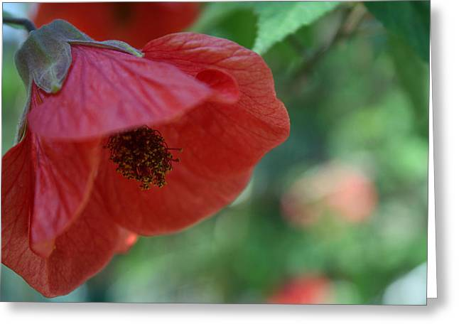 Tender Greeting Cards - Red Lillie Flower Close Up Greeting Card by Jose Valeriano