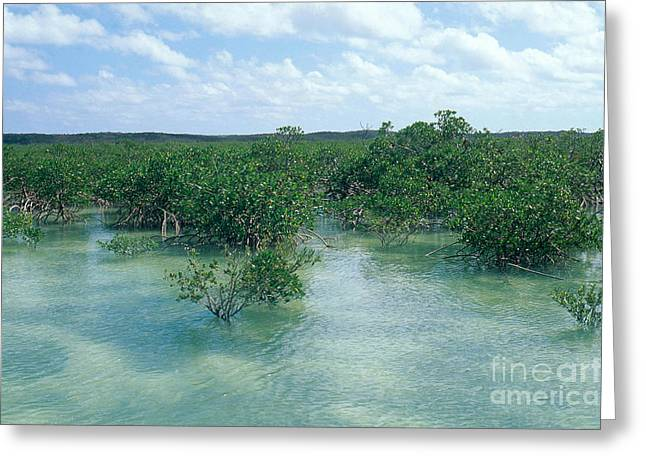 Mangrove Forest Greeting Cards - Red Mangrove Forest Greeting Card by John Kaprielian