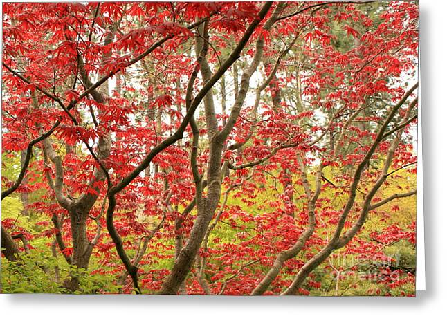 Red Maple Tree Branches Greeting Cards - Red Maple Leaves and Branches Greeting Card by Carol Groenen
