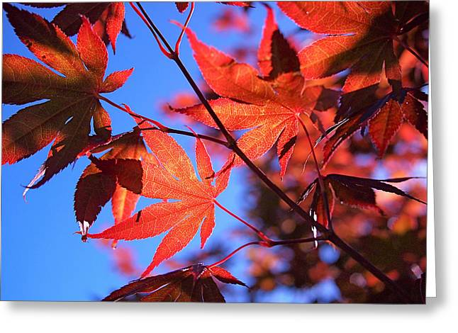 Red Leaf Greeting Cards - Red Maple Greeting Card by Rona Black