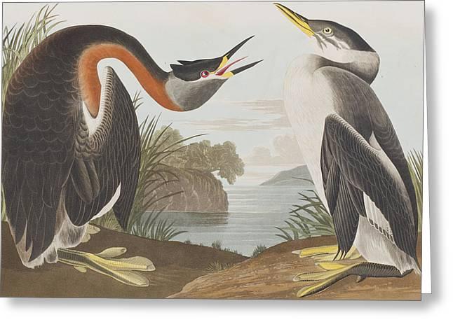 Red Necked Grebe Greeting Card by John James Audubon