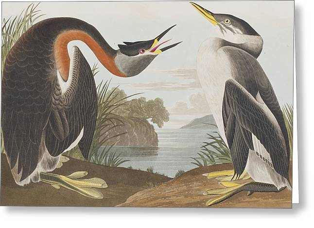 Red Drawings Greeting Cards - Red Necked Grebe Greeting Card by John James Audubon