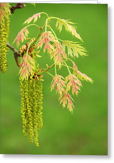Green And Yellow Greeting Cards - Red Oak Catkins Greeting Card by Iryna Burkova