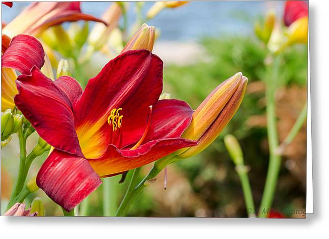 Coloured Greeting Cards - Red Orange Lily by the Lake Greeting Card by Andrew Miles