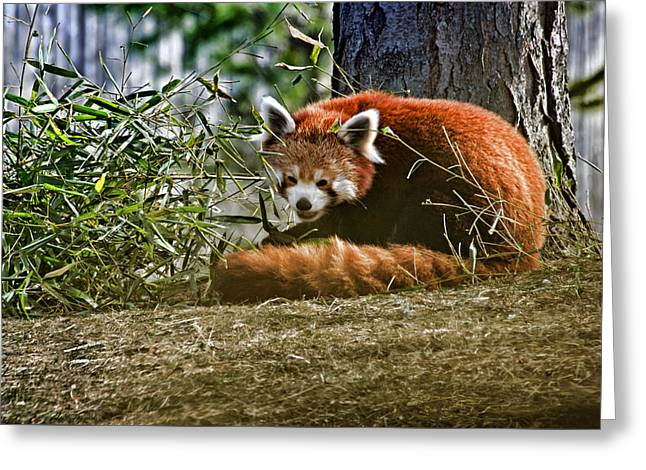 Red Panda Greeting Card by Cheryl Cencich