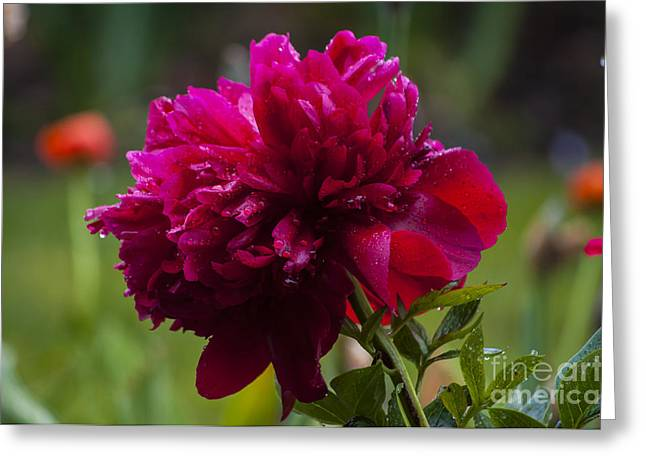 Red Greeting Cards - Red Peony with Water Drops Greeting Card by Mandy Judson