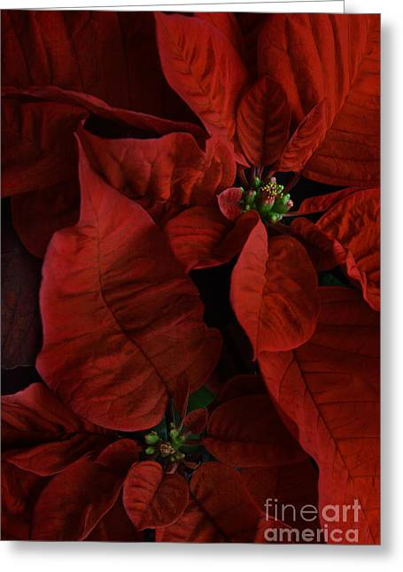 Euphorbiaceae Greeting Cards - Red Poinsettia Greeting Card by Ann Garrett