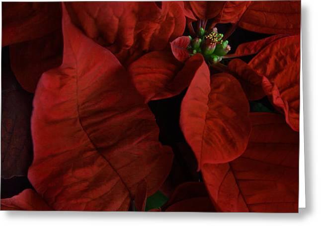 Red Poinsettia Greeting Card by Ann Garrett