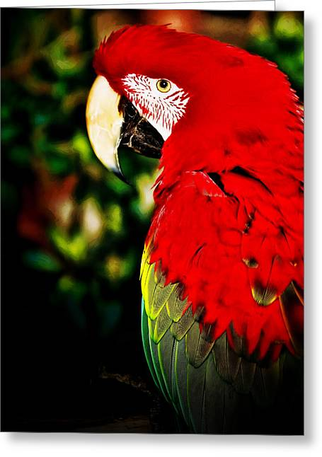 Macaw Art Print Greeting Cards - Red Polly Greeting Card by Dave Bosse