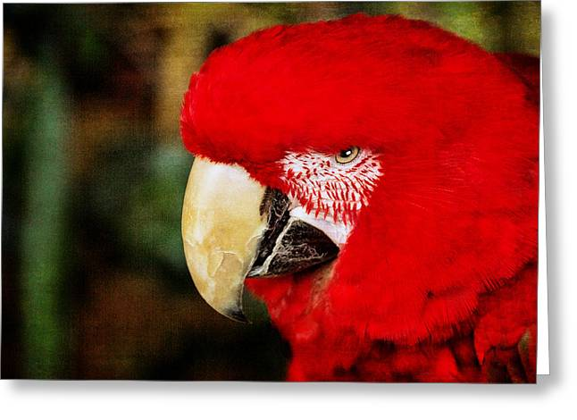Macaw Art Print Greeting Cards - Red Polly II Greeting Card by Dave Bosse