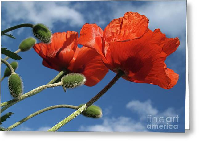 From Seed Greeting Cards - Red Poppies in Spring Greeting Card by Anna Lisa Yoder