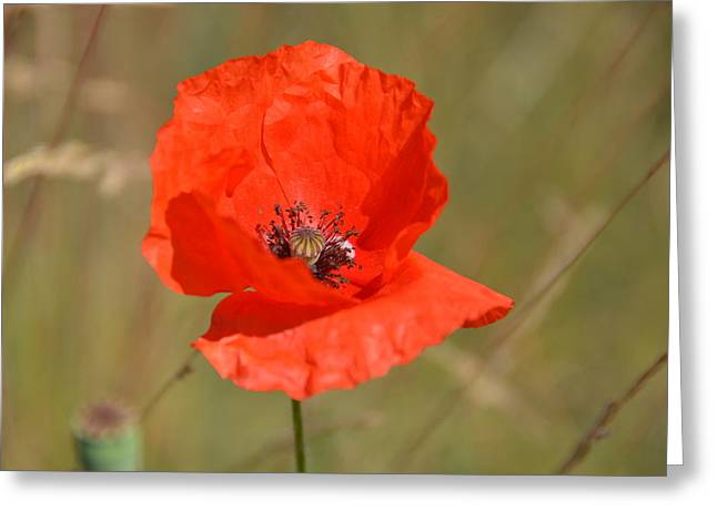 British Portraits Greeting Cards - Red Poppy in the Field Greeting Card by Lena Kouneva