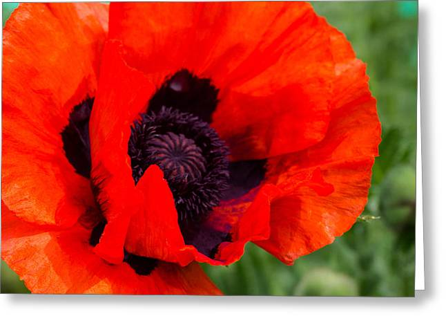 Nature Pyrography Greeting Cards - Red Poppy Greeting Card by Peteris Vaivars