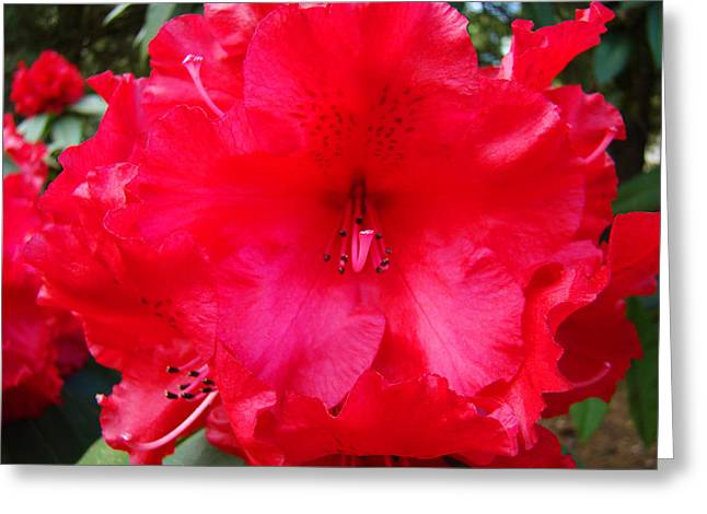 Rhodies Flowers Greeting Cards - Red Rhododendron Flower art prints Summer Baslee Troutman Greeting Card by Baslee Troutman