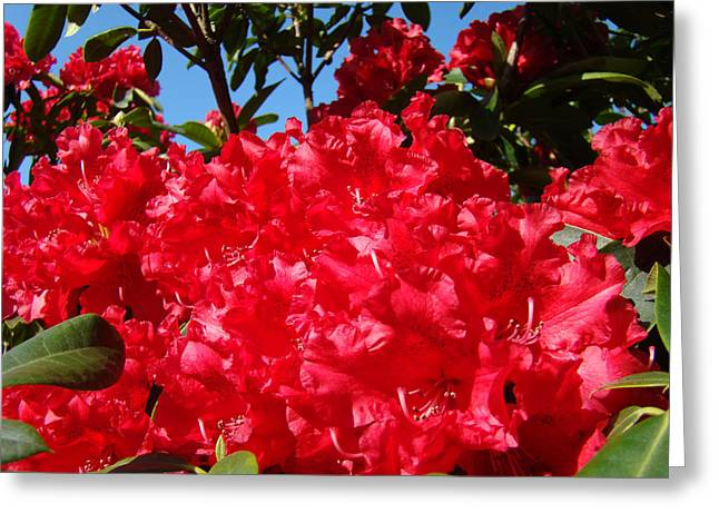 Rhodie Greeting Cards - Red Rhododendron Flowers Floral art prints Baslee Greeting Card by Baslee Troutman