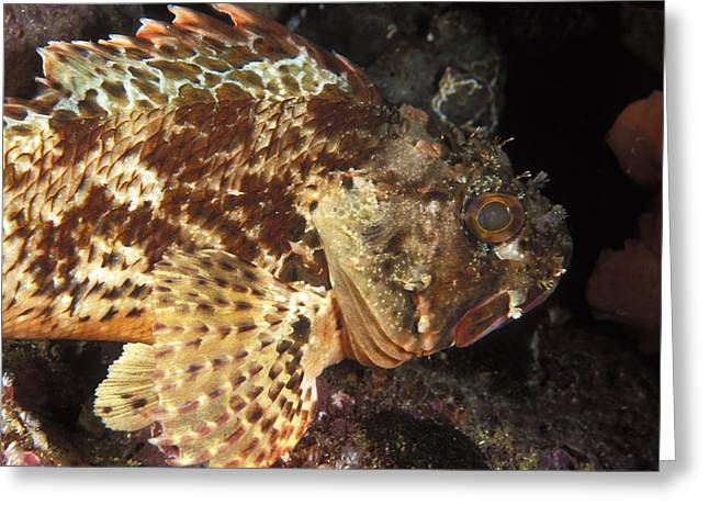 Red Rock Cod Fish. Scorpaena Papillosa Greeting Card by James Forte
