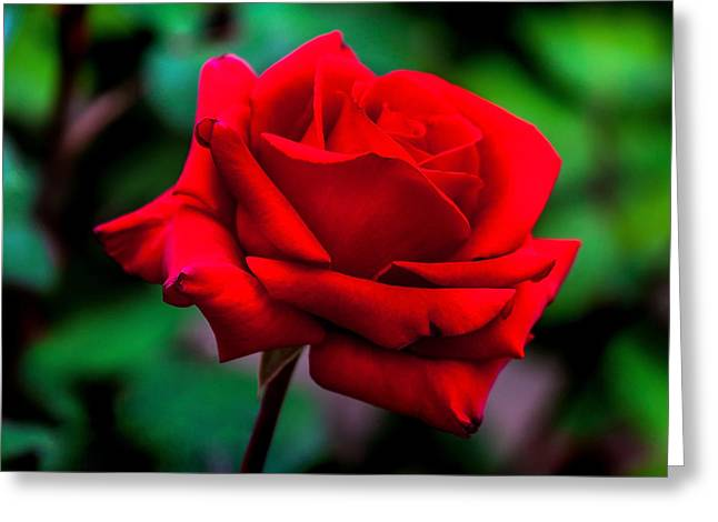 Colors Of Autumn Greeting Cards - Red Rose 2 Greeting Card by Az Jackson