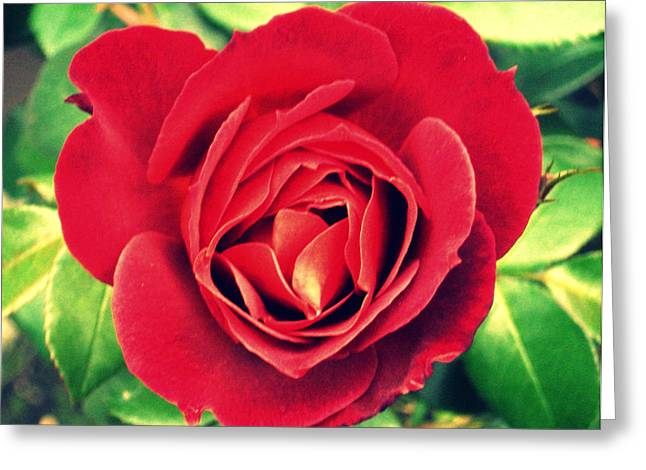 Pdx Roses Greeting Cards - Red Rose Greeting Card by Cathie Tyler