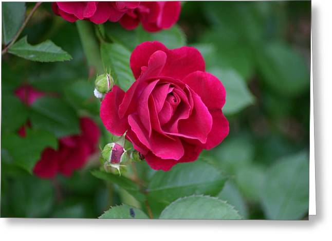 Reflections Of Infinity Greeting Cards - Red Rose Greeting Card by Robert E Alter Reflections of Infinity