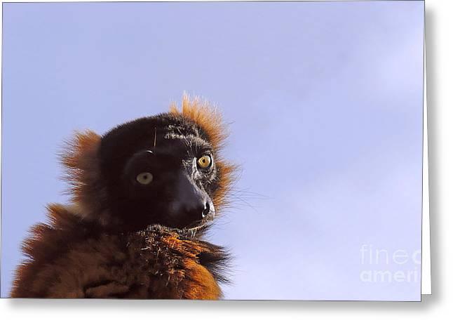 Red-ruffed Lemur Greeting Cards - Red ruffed lemur Varecia rubra Greeting Card by David Carton