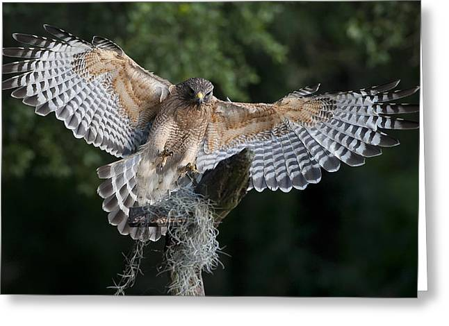 Red Shouldered Hawk Greeting Cards - Red Shouldered Hawk 2 Greeting Card by Wade Aiken