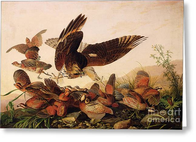 Red Shouldered Hawk Greeting Cards - Red Shouldered Hawk Attacking Bobwhite Partridge Greeting Card by John James Audubon