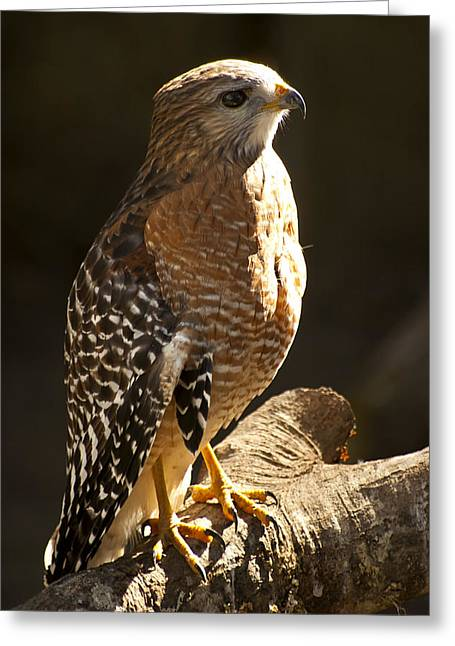 Red Shouldered Hawk Greeting Cards - Red-Shouldered Hawk Greeting Card by Carolyn Marshall