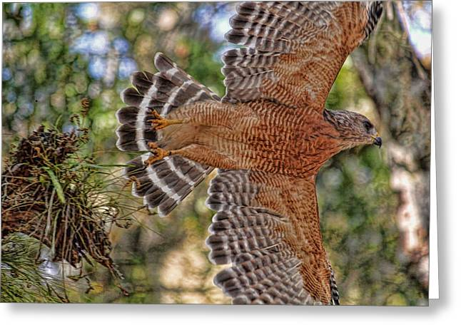 Flying Animal Greeting Cards - Red-shouldered Hawk In Flight  Greeting Card by HH Photography of Florida