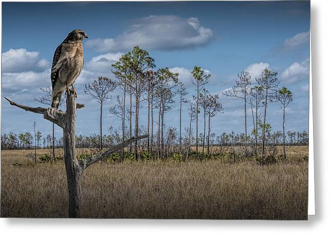 Red Shouldered Hawk In The Florida Everglades Greeting Card by Randall Nyhof