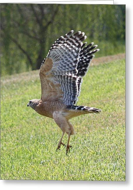 Red Shouldered Hawk Greeting Cards - Red-Shouldered Hawk Takeoff Greeting Card by Carol Groenen