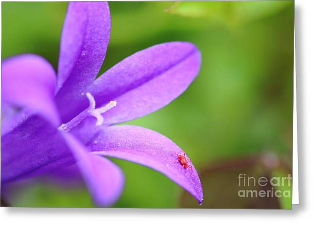Biology Greeting Cards - Red spider mite on Campanula flower Greeting Card by Gregory DUBUS