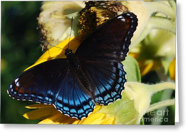 High Virginia Images Greeting Cards - Red-spotted Purple Greeting Card by Randy Bodkins