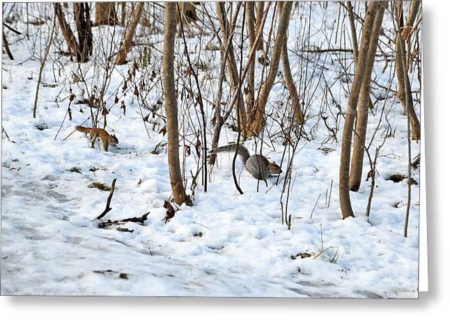 Sciurus Carolinensis Greeting Cards - Red Squirrel chasing Gray Squirrel Greeting Card by Asbed Iskedjian