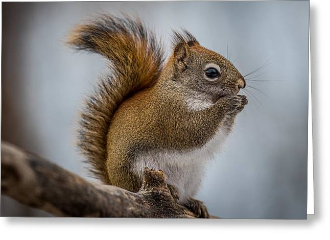 Red Squirrel Greeting Cards - Red Squirrel Greeting Card by Paul Freidlund