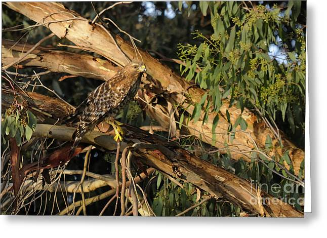 Red Tail Hawk Camouflage Greeting Card by Marc Bittan
