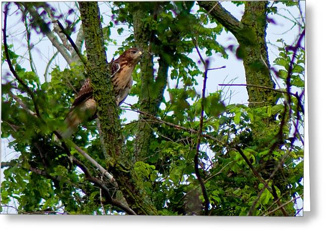 Red Tail Hawk Greeting Card by Matt Steffen