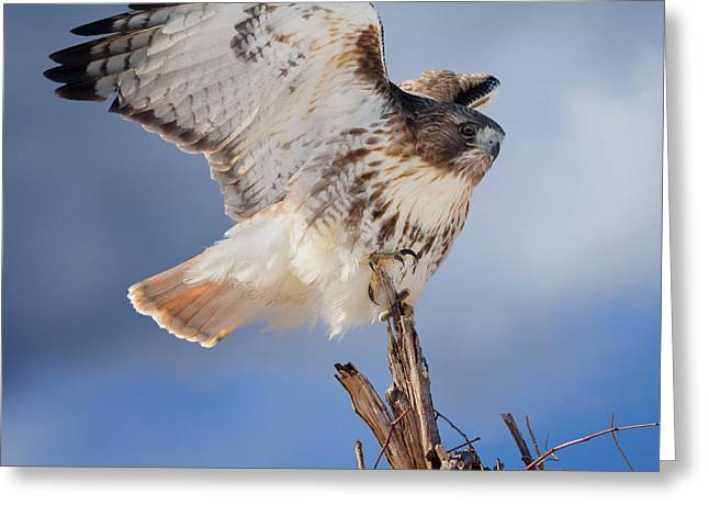 Birds. Birds Of Prey Greeting Cards - Red Tail Hawk Perch Greeting Card by Bill Wakeley