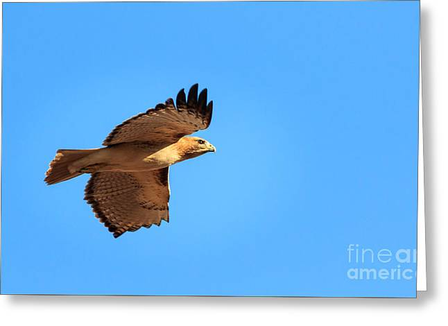 Hunting Bird Greeting Cards - Red Tail in Flight Greeting Card by Richard Smith